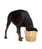 Pet dog eating food from basket Stock Photos