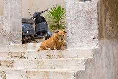 Pet dog at the entrance to the house Royalty Free Stock Photography