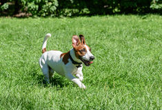 Pet dog with funny ears running on green grass lawn. Jack Russell Terrier playing at sunny day Stock Photo