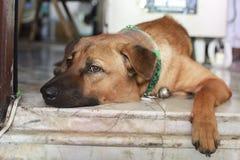 Pet dog gene thai. Dog take care of the house thailand gene thai Royalty Free Stock Photography