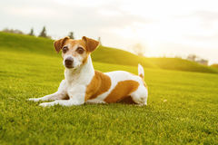 Pet dog jack russell terrier lying on the green grass. Royalty Free Stock Image