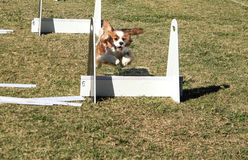 Pet dog jumping over agility course. Brown and white pet dog competing on agility course and jumping over post Royalty Free Stock Photos