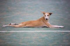 Pet dog laying down, Ecuador Stock Image