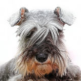 Dog looking through long hair Royalty Free Stock Photos