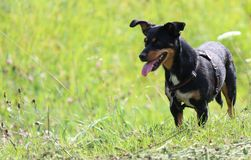 Pet Dog Stock Images