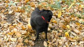 Pet. Dog. Nature stock footage