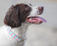 Pet dog with new collar. Pet English Spaniel dog portrait wearing a new colorful collar Royalty Free Stock Image