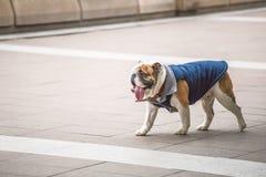 Pet dog Royalty Free Stock Photos
