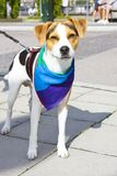 Pet dog with a rainbow-colored cloth Royalty Free Stock Images