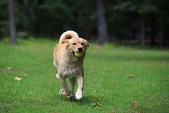 Pet dog running with ball stock image