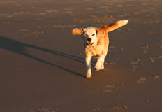 Pet dog running on beach in sunlight Stock Photos