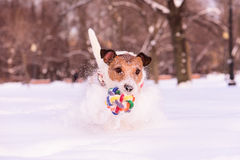 Pet dog running and playing in snowy winter park Royalty Free Stock Images