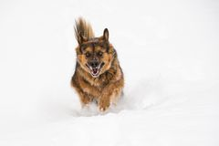 Pet dog running in the snow Stock Image