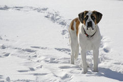 Pet dog standing in snow Royalty Free Stock Photos
