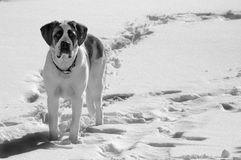 Pet dog standing in snow Stock Photos