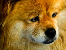 A pet dog staring. A golden and white pet dog staring in China Stock Image