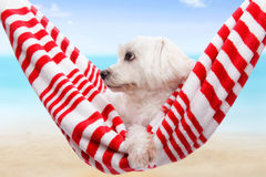 Pet dog summer holiday. Pet dog relaxing in a soft red and white hammock by the beach royalty free stock photo