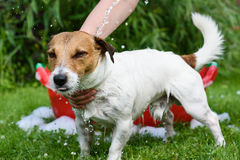 Pet dog taking shower and bath at open air. Jack Russell Terrier washing under stream from hose Stock Images