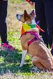 Pet Dog waiting for the Start of the Annual Roanoke Valley SPCA 5K Tail Chaser. Roanoke, VA – March 23rd: Pet dog waiting for the start of the starting stock photos