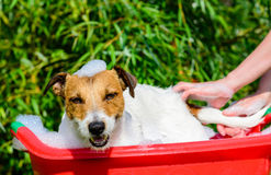 Pet dog washing in bath during grooming care. Woman hand washing dog`s tail Royalty Free Stock Images