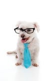 Pet dog wearing a tie and glasses Royalty Free Stock Photos
