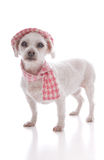 Pet dog wearing winter hat and scarf Royalty Free Stock Photos