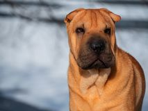 Dog home favorite breed Shar Pei Park winter walk snow red skin portrait sunny day royalty free stock photo