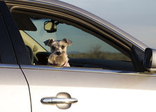 Pet Doggy in the Car Window. Cute little pet dog looking out of an open car window stock photos