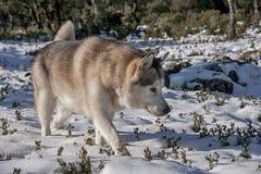 Pet, dogs, Alaskan Malamute Royalty Free Stock Photo