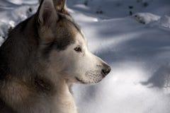 Pet, dogs, Alaskan Malamute Royalty Free Stock Image