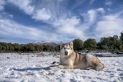 Pet, dogs, Alaskan Malamute Royalty Free Stock Images