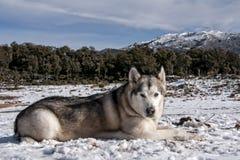 Pet, dogs, Alaskan Malamute Stock Image