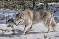Pet, dogs, Alaskan Malamute Stock Photography
