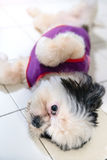 Pet dogs are cute and playful. Royalty Free Stock Photography