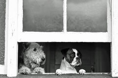 Pet dogs waiting, watching with separation anxiety for return of owner. A wonderful image showing a pets perspective of when we humans go out and leave our pet royalty free stock photo