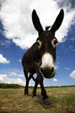 Pet Donkey Stock Photo