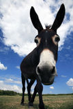 Pet Donkey. Farmland and Grazing Donkey - Overcast Blue Sky Royalty Free Stock Photography
