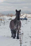 Pet draught horse Stock Photos