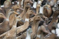Pet duck Stock Photos