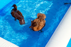 Pet ducks in a child's pool. Two pet Khaki Campbell ducks swimming in a child's paddling pool in the garden Royalty Free Stock Photography