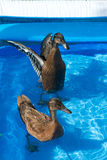 Pet ducks in a child's pool. Two pet Khaki Campbell ducks swimming in a child's paddling pool in the garden Stock Images
