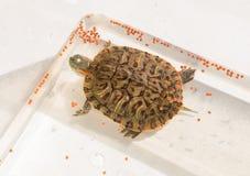 Pet elegans vermelho-orelhudos do slider da tartaruga ou do scripta de Trachemys fotos de stock