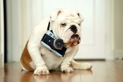 Pet English Bulldog posing as a photographer with a stuffed camera toy royalty free stock images