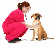 Pet Exam Royalty Free Stock Image