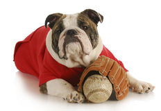 Pet exercise. Bulldoy laying down with baseball and glove on white background Royalty Free Stock Photography