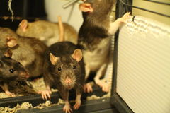 Pet Fancy Rat Family. Playing and being curious Royalty Free Stock Photography