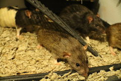 Pet Fancy Rat Family. Playing and being curious Stock Photo