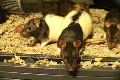 Pet Fancy Rat Family. Playing and being curious Stock Photos