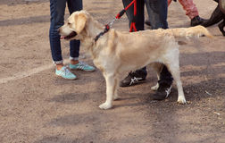 Pet Fed dog fair. Dog lover celebrating & enjoying Pet Fed dog fair with their pet dogs at Delhi pet fed 2016 held in second week of December royalty free stock photography