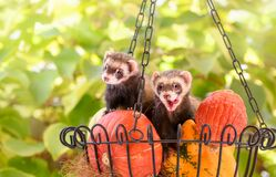 Free Pet Ferrets, Mustela Putorius Furo, Together In A Basket With Pumpkins Royalty Free Stock Photos - 186328118